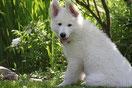 un chiot berger blanc suisse assis sous un sous bois par coach canin 16 educateur canin