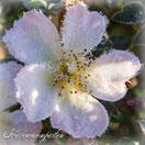 Rosenblog Rosen Hexenrosengarten Sonnenröschen Frost