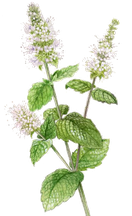 Menthe - Botanicalart © S. Pui Mun Law