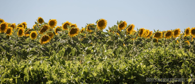 sonnenblumen, sonnenblumenfeld, provence, luberon, lavendelfelder, lavendel, lavendelblüte, sommer, reisetipps, infos, selbstgeplant, frankreich