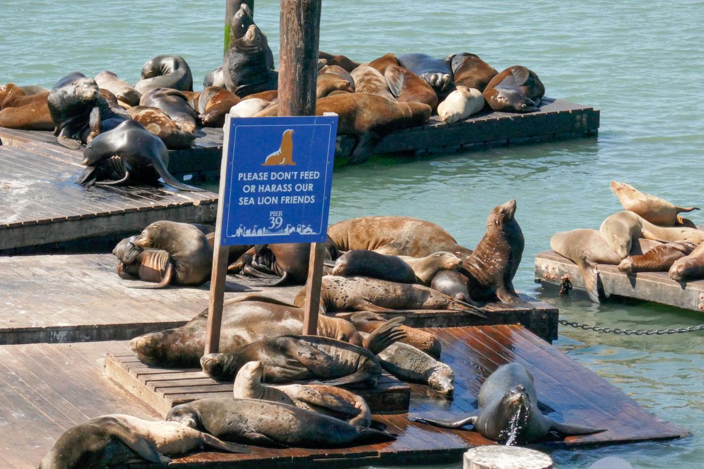 Pier 39,san,francisco,usa,seelöwen,rundreise,jucy,campervan,sehenswürdigkeit,fishermans,wharf