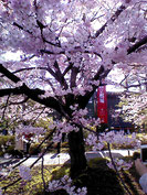 橋之助に感動した国立劇場の桜