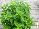 Ananassalbei mit mittelgrünen Blättern, Foto Kirnstötter