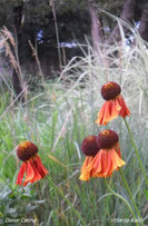 Helenium Morheim beauty