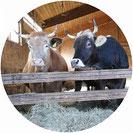 Kuhpatenschaften sichern eine lebenslange Unterbringung im tierleidfreiem Betrieb wie zum Beispiel in einer Demeter Gärtnerei