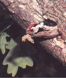 Die Nisthöhle ist recht haltbar und wird jahrelang vom selben Brutpaar genutzt.