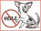 Couleur chihuahua interdite