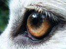 Neuester Artikel: Canis lupus italicus