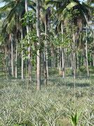 Annanas et cocotier