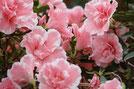 Un azalée fleurit rose toxique pour le chien le chiot par coach canin 16 éducateur canin en charent