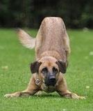 Un gros chien de couleur fauve joue pose ses pattes avant au sol et léve son postérieur par coach canin 16 éducateur canin en charente