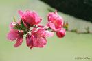 ももの花と実