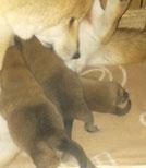 柴犬親子の画像