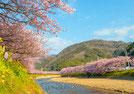写真:川沿いの桜