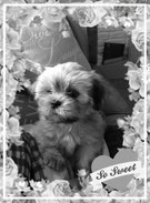 lhasa apso kennel