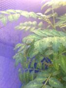6月14日のカラスアゲハ幼虫