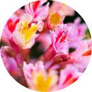Annie Attal | Fleurs de Bach- Red Chesnut - Lyon