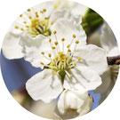 Annie Attal | Fleurs de Bach- Cherry Plum - Lyon