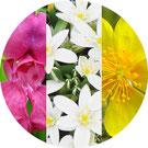 Annie Attal | Fleurs de Bach- Mimulus - Lyon