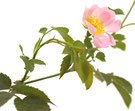 Bach Blüten Nr. 37 Wild Rose Heckenrose