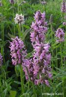 Naša selekcija sa sjajnim purpurnim cvatovima kompaktnijeg rasta