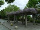 最初に通る公園の藤棚
