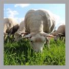 Ovin viande : 19 éleveurs engagés