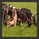 Caprins lait & mixte : 3 éleveurs engagés