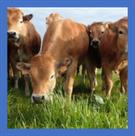 Bovin viande : 61 éleveurs engagés