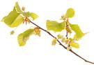 Bach Blüten Nr. 3 Beech Rotbuche