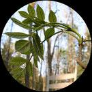 Grünholz entsteht aus Eschenzweig 5