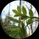 Grünholz entsteht aus Eschenzweig 3