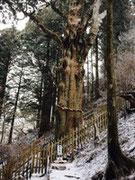 伐採1ヶ月後の神代杉