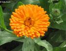 Bild: Calendula (Ringelblume) wird in der Kräuterheilkunde eingesetzt.