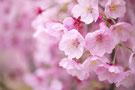 写真:陽光桜