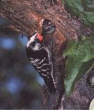 Das Männchen, erkennbar durch die matt-rote Kappe, beim Füttern des Nachwuchses.
