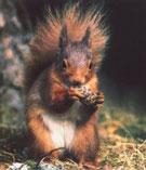 Mit seinen geschickten Vorderpfoten ergreift das Eichhörnchen seine Nahrung und hält sie fest.