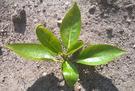 Steckling 4 Wochen nach der Pflanzung