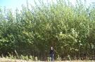 Pappelplantage 4 Jahre alt