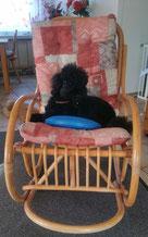 Kleinpudel Sylou auf dem Schaukelstuhl