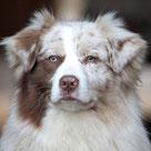 Red Merle Standard Australian Shepherd Hündin