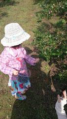ブルーベリーの木は小さなお子様でも手が届く低い位置にも沢山の実をつけます。