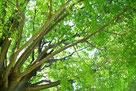 メディカルハーブ 植物療法 ラベンダー