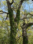 蔦が絡まる木