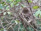写真6 ヒヨドリの巣