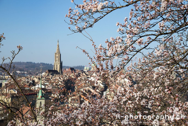 Japanische Kirschblüten im Rosengarten, Bern, Schweiz.