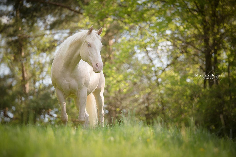 Quarter Horse Cremello