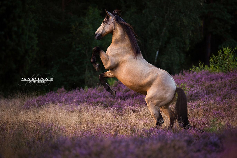 Lusitano, steigende Pferde