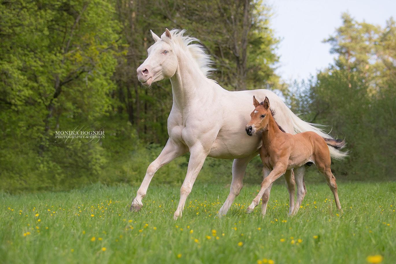 Quarter Horse mit Fohlen