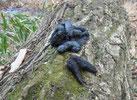 アライグマの糞